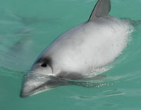 Please support USA proposal to save Maui and Hector's dolphins!