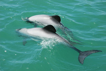 Extinction is imminent for two marine mammal species unless their habitat is immediately cleared of gillnets